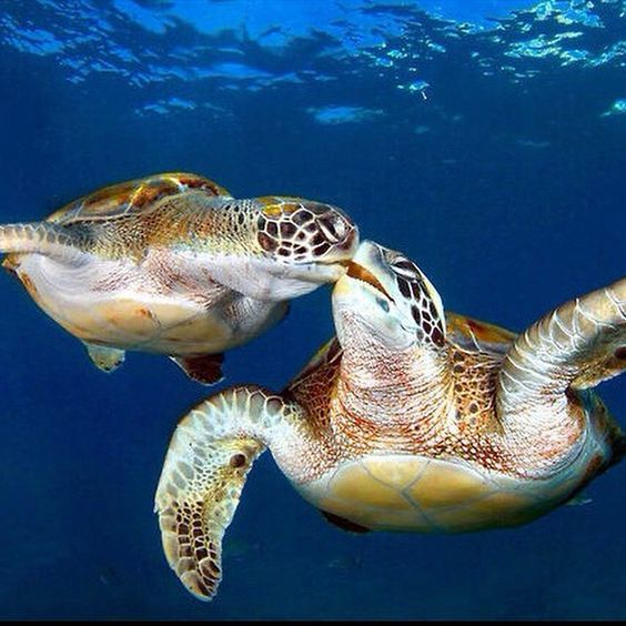 Two cute kissing turtles