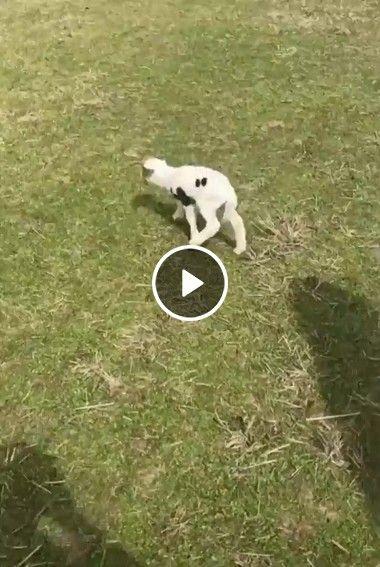 Cachorro cuida de filhote de ovelha
