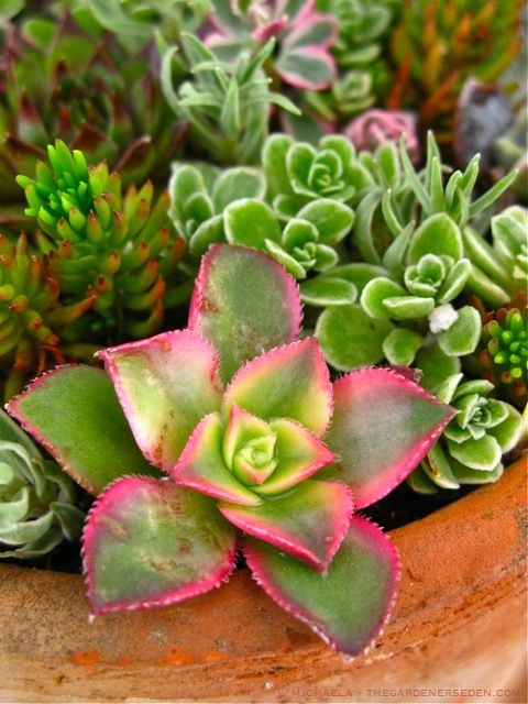Mixed Succulent Container Garden Starring Aeonium Kiwi
