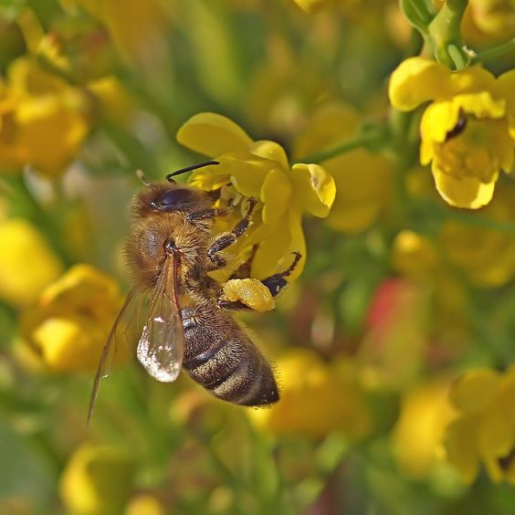A honey bee collecting honey and pollen on a Mahonia flower.