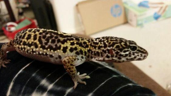 Eddie lIzzard my snow leopard gecko