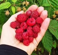 Raspberry Ketone is the latest weight loss fad. This so called Superfood that you take as a supplement to lose weight have been getting a lot of international attention. Fact or Fad??