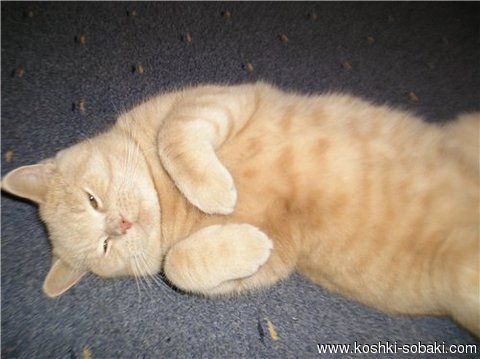 британский персиковый кот - Поиск в Google