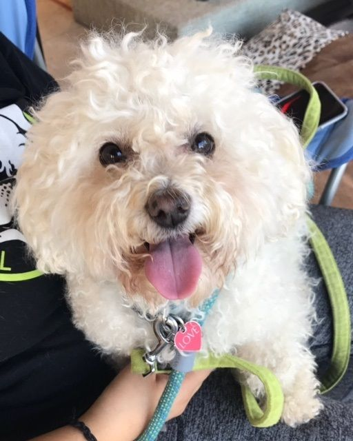 Adopt Smurphy On Petfinder Poodle Dogs Bichon Frise Dogs