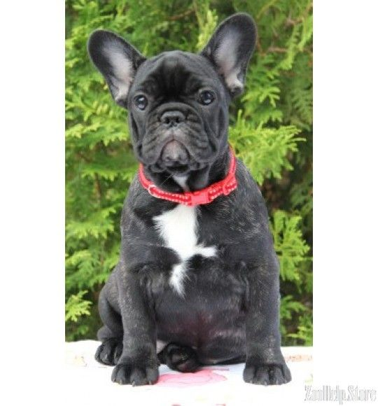French Bulldog French Bulldog Rescue French Bulldog Puppies French