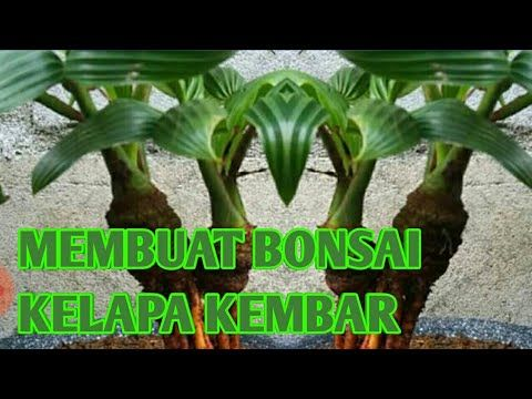 Membuat Bonsai Kelapa Kembar Youtube Bonsai Kelapa Pohon Bonsai