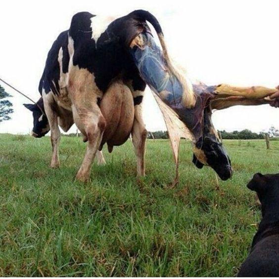 Como nacen los becerritos. #Vacas #Veterinaria