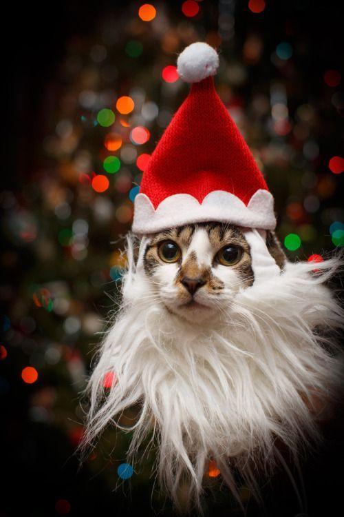 Картинки новогодних котиков
