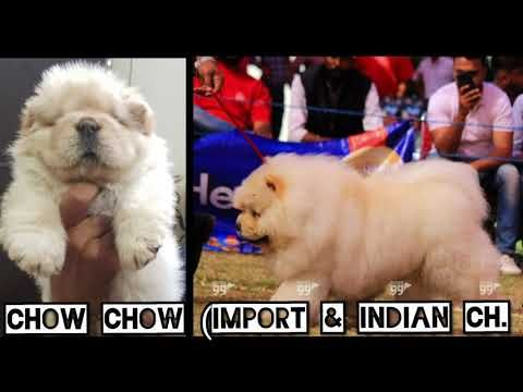 Import Champion Bloodline Chow Chow Puppies Ready Chow Chow