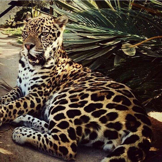 Perseu. Criodouro Onca-pintanda. Brasil. #jaguar