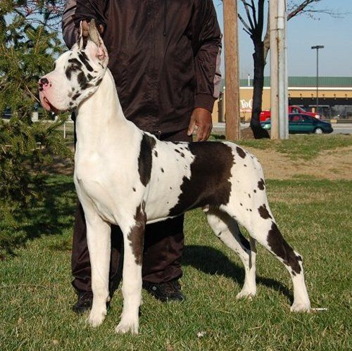 Present Champions Harlequin Great Danes Great Dane