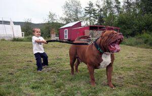 remarkable world largest dog | StyleGoes