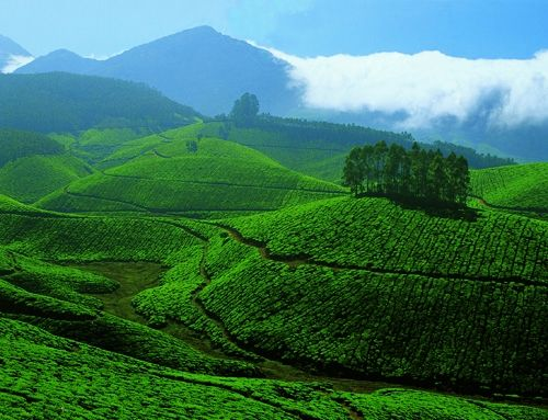 Tea Gardens [Plantations / Estates] at Devikulam, Munnar, Kerala, India