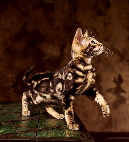 6 Allergiker Katzen Fur Uberempfindliche Samtpfotenfreunde