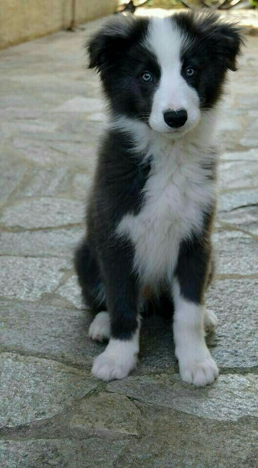 Pin By Brenda On Must Love Dogs With Images Collie Puppies Collie Dog Dogs