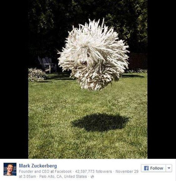 Facebook創業者のワンコが大人気!! どう見ても「モップのようなワンちゃん」がウルトラキュートなのだ!