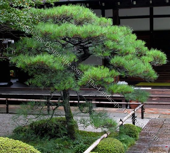Japanese black pine japanese landscaping plants kitty for Japanese garden plans and plants