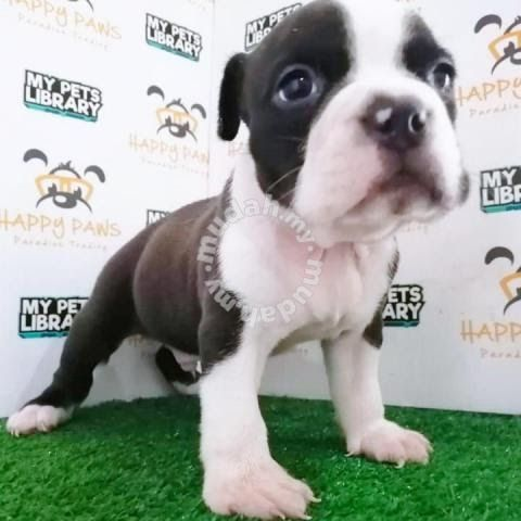 American Bully Puppy Black White Male 1 Month Pets For Sale In Sungai Petani Kedah Mador American Bul Pets For Sale Puppies For Sale Pitbull Puppies For Sale