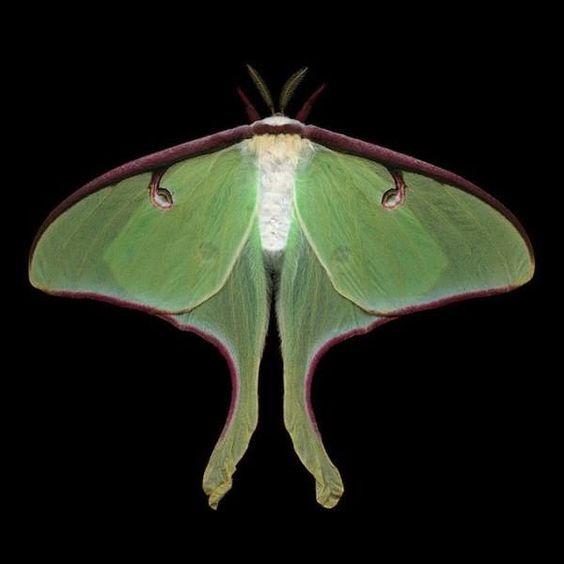 Luna Moth     Thanks to Feeling (FB)
