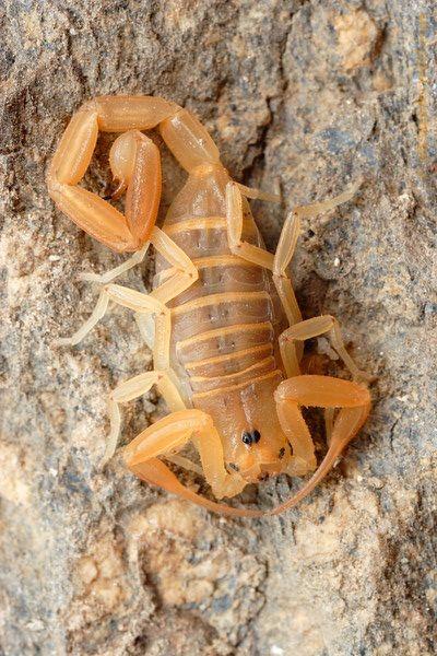 Scorpion, Arizona And Led Flashlight On Pinterest