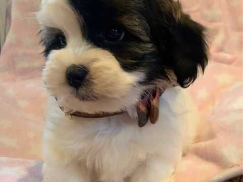 Shihpoo Puppies Southend On Sea Essex Pets4homes In 2020 Shih Poo Dog Skin Puppies