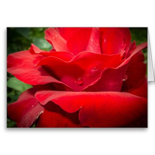 Droplet on Rose Greeting Card