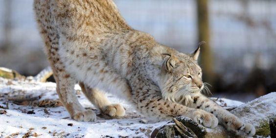 Le lynx boréal est en passe de disparaître dans le massif des Vosges.  Prayers to help and protect them.
