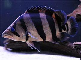 Some Monster aquarium fish commonly