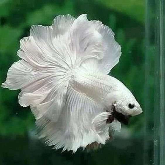 Cool fish lovely pets pinterest fish and cool fish for Albino betta fish