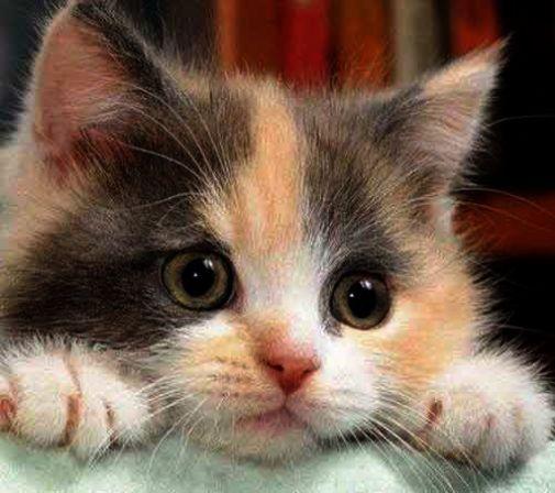 Impressive Cute Cats For Sale In Karachi Xoxo Kittens Cutest Cats Cute Cats
