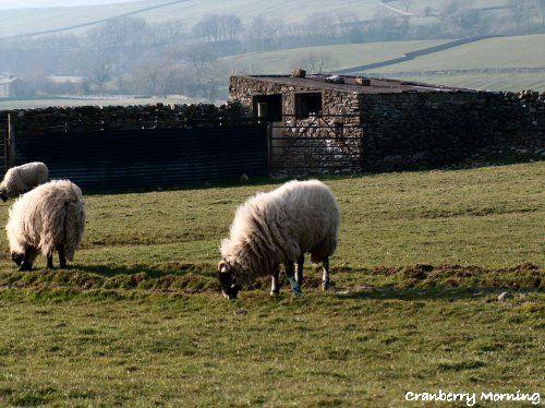 Leyburn Sheep