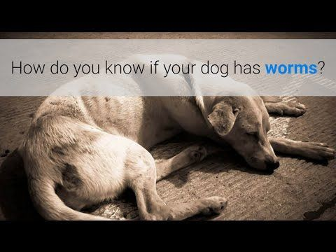 How Can You Tell If A Dog Has Worms Http Pets Ok Com How Can You Tell If A Dog Has Worms Dogs 3813 Html