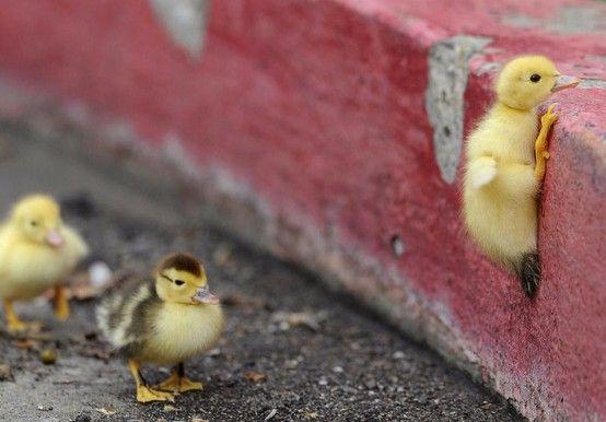 baby chicks:)