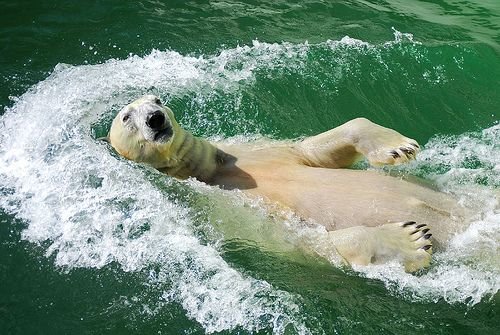 Polar bears swim too!