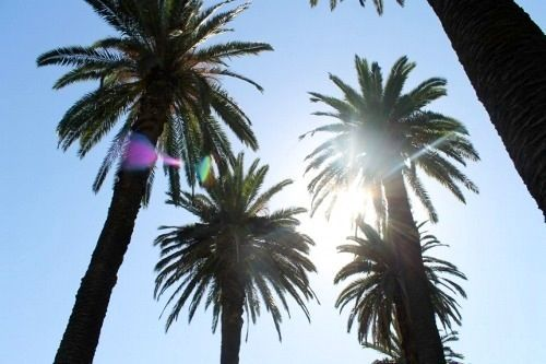 palm trees in florida