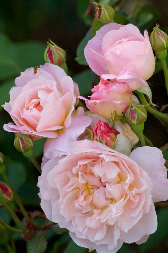 English Rose ~ 'Mary Magdalene':