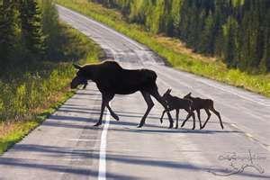 Moose crossing! Alaska
