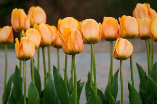 All Those Little Things: tulips