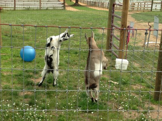 Goats at play! My Goatie girls Lila and Belle