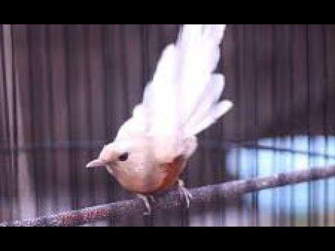 Masteran Murai Terbaru Dan Terampuh Yang Di Pakai Semua Burung Juara Di 2020 Murai