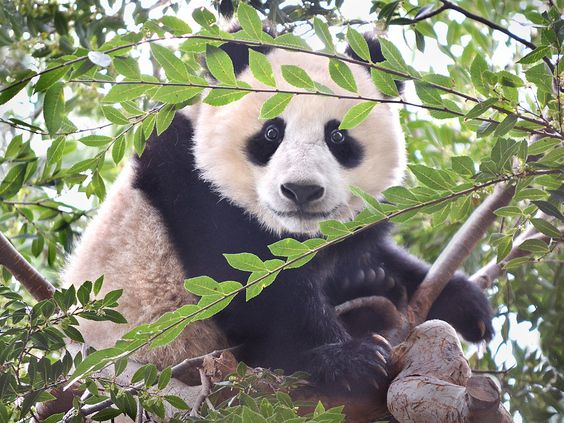 Branch manager   Panda bear cub Xiao Liwu takes in the scene…   Flickr