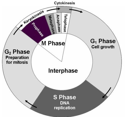Cell cycle ap1overview pinterest cycling ccuart Image collections
