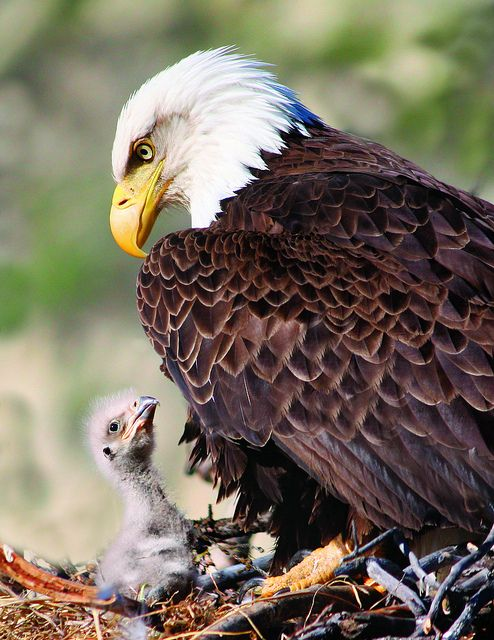 """"""" But Daddy pleeeeease, you promised"""" """" I'm Tired son been at work all day""""  (Eagle nest near the Yukon River)"""