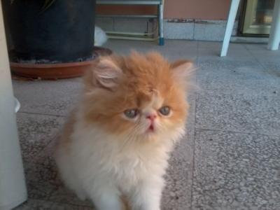 gattini persiani bianchi bellissimi - Rimini | AnimaliQui.com ...