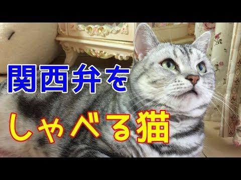 コロナ しゃべる 猫 しゃべるねこ、しおちゃん!飼い主のしんコロとは?アメリカ在住の人気黒猫に癒されよう!