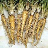 Conseils pratiques pour cultiver le salsifis au potager, du semis à la récolte. Redécouvrez ce légume oublié, supplanté aujourd'hui sur les étals par le scorsonère...
