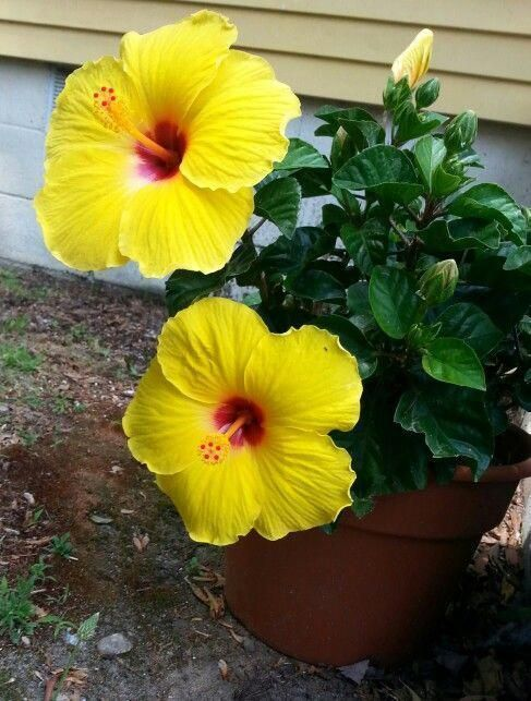 Hibiscus Flower Benefits For Skin Hibiscusbush Hibiscuslandscaping Hibiscusflowerdiy In 2020 Zahrada
