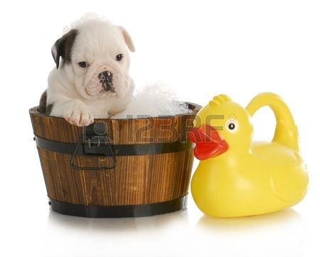 salle de bain chien chiot bouledogue anglais assis dans la baignoire de savon et canard en caoutchou Banque d'images
