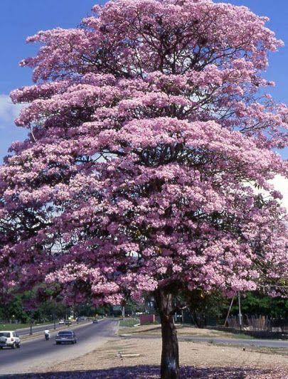 Maquilishuat, árbol nacional de El Salvador.
