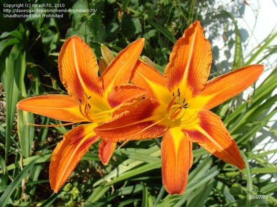 how to tell the difference between lilies and daylilies flowers
